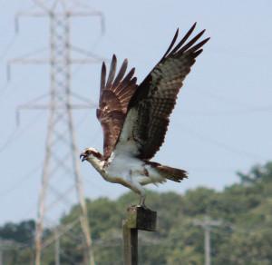 Osprey Adult 2